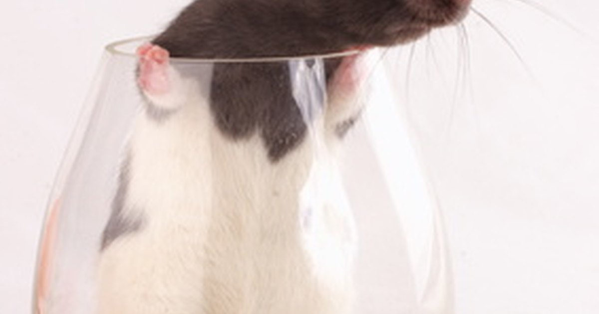Can Rats Live In Glass Cages