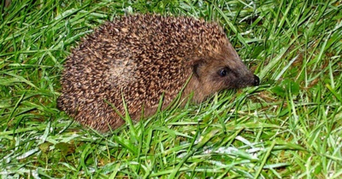What Do Hedgehogs Eat   Hedgehogs Diet