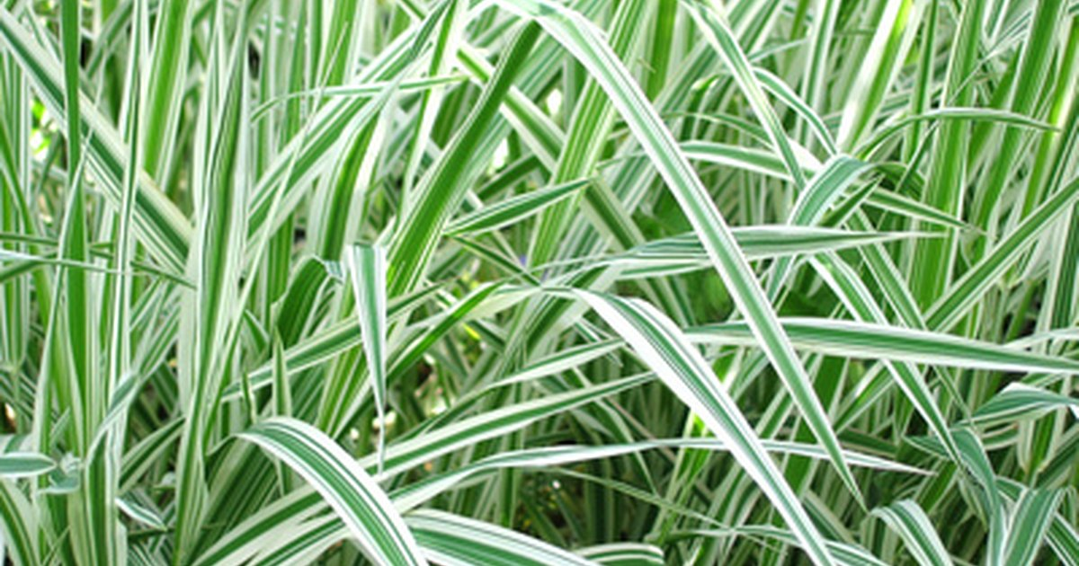 List of hardy ornamental grasses ehow uk for Hardy tall ornamental grasses