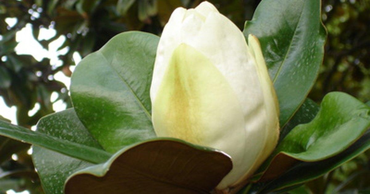 C mo plantar y cuidar de una magnolia grandiflora ehow - Semilla de magnolia ...
