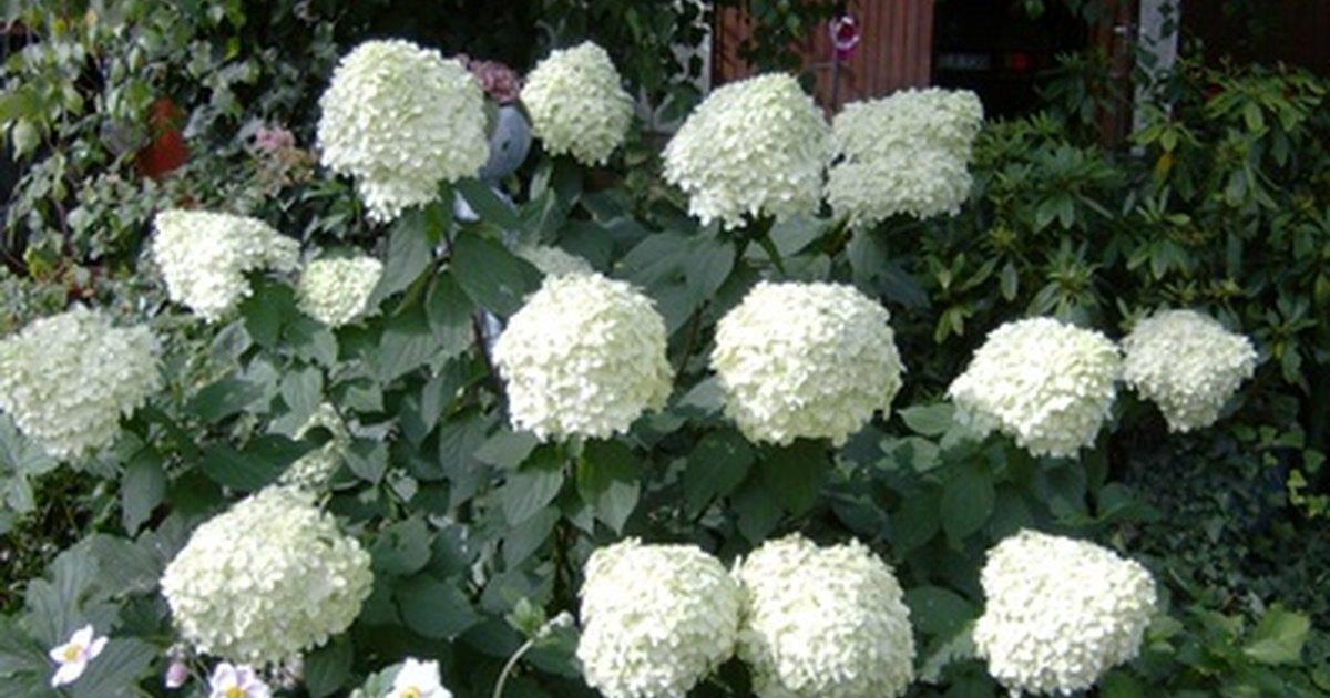 Cu ndo se debe podar una hortensia de pleno sol ehow - Cuando podar las hortensias ...