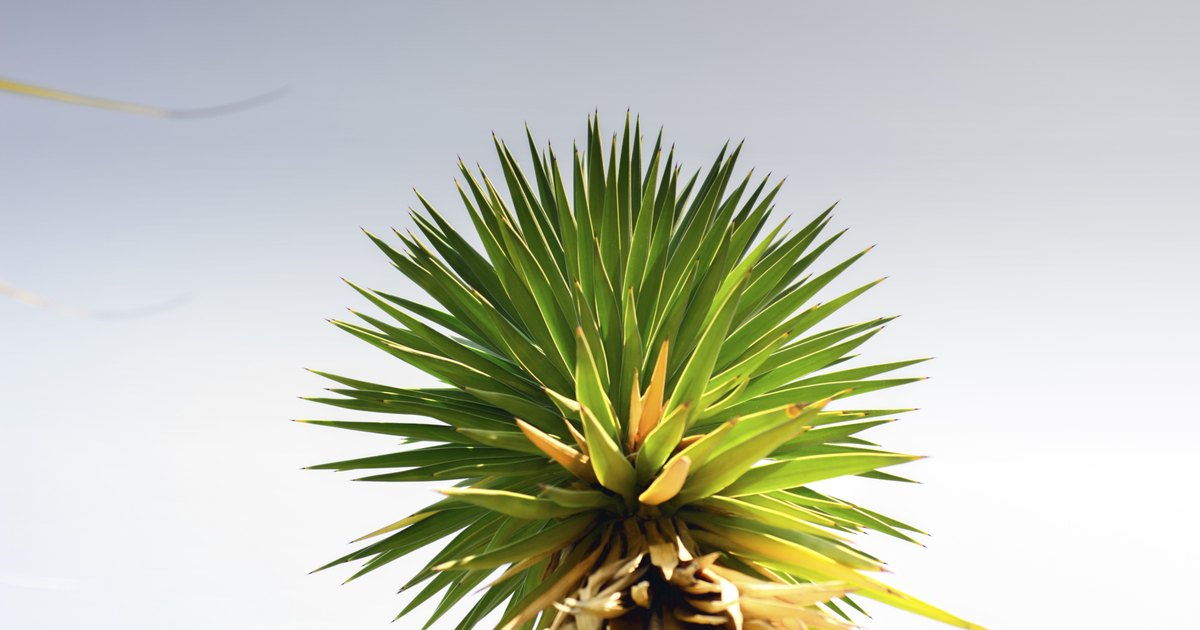 How to Prune an Indoor Yucca Plant | eHow UK