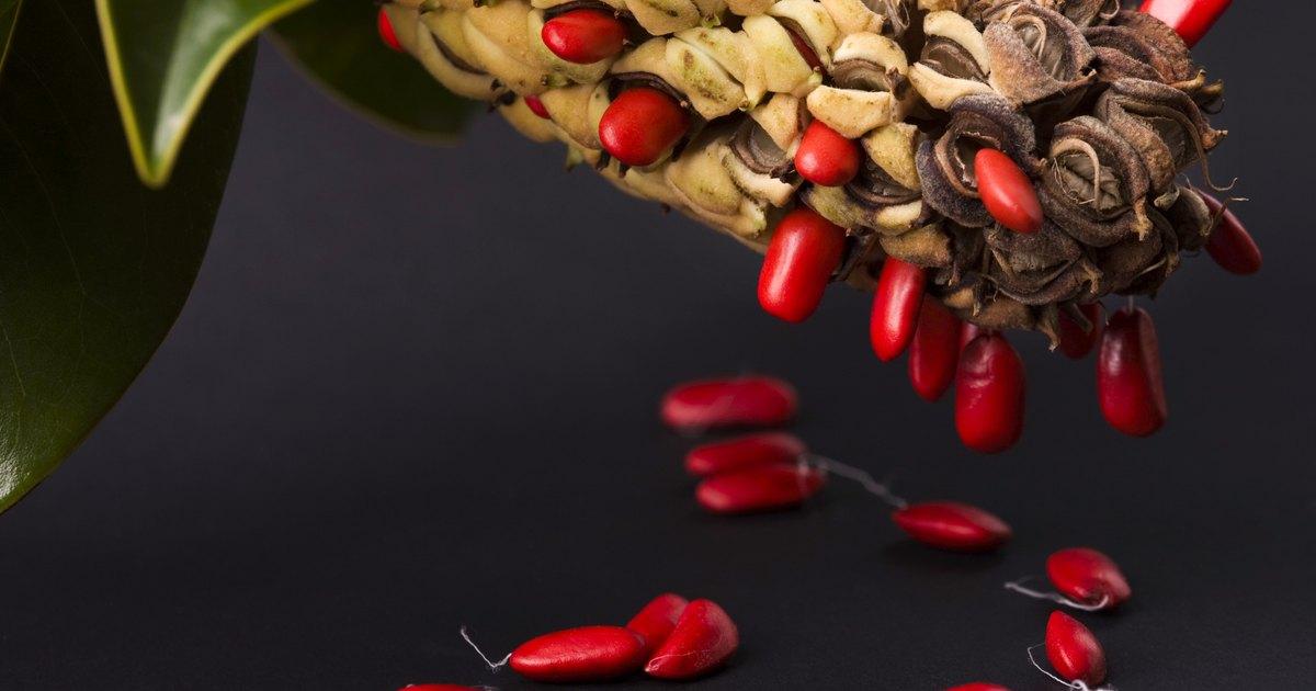 C mo obtener semillas del rbol de magnolia ehow en espa ol - Magnolia grandiflora cuidados ...
