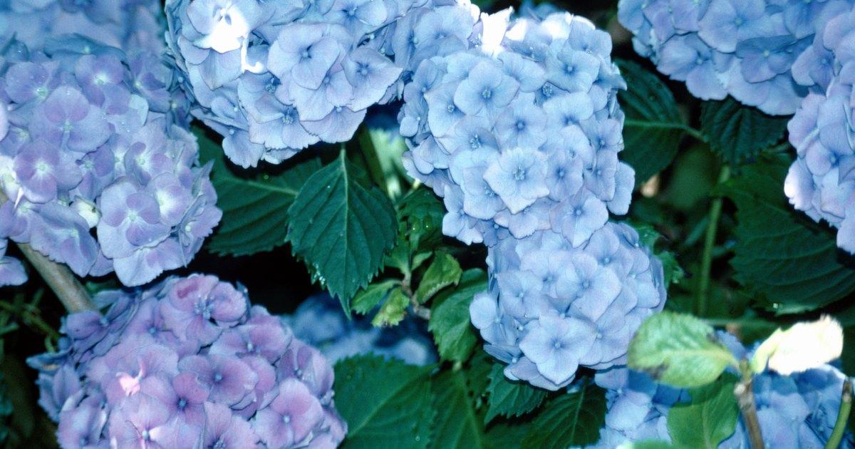 Cuidado de hortensias en macetas ehow en espa ol - Cuidado de las hortensias ...