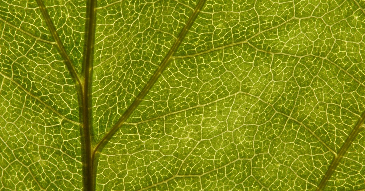 Plant Leaf Cell Structure