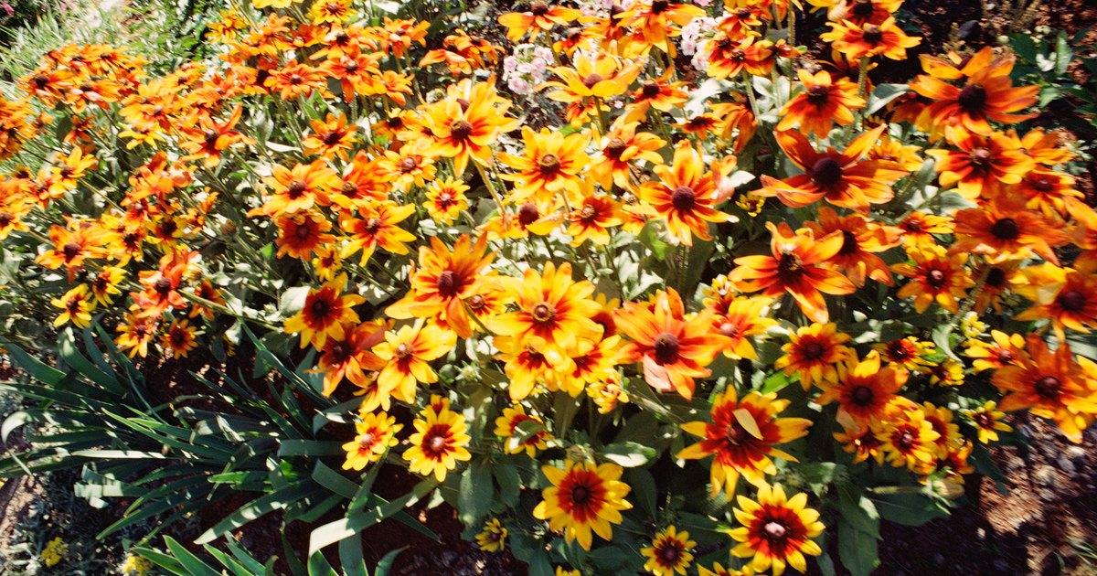 C mo cultivar un crisantemo en exteriores ehow en espa ol - Como cultivar crisantemos ...