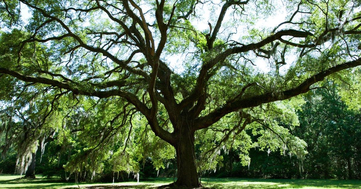 Perennials That Grow Under Oak Trees : How to plant a flower garden under an oak tree ehow uk