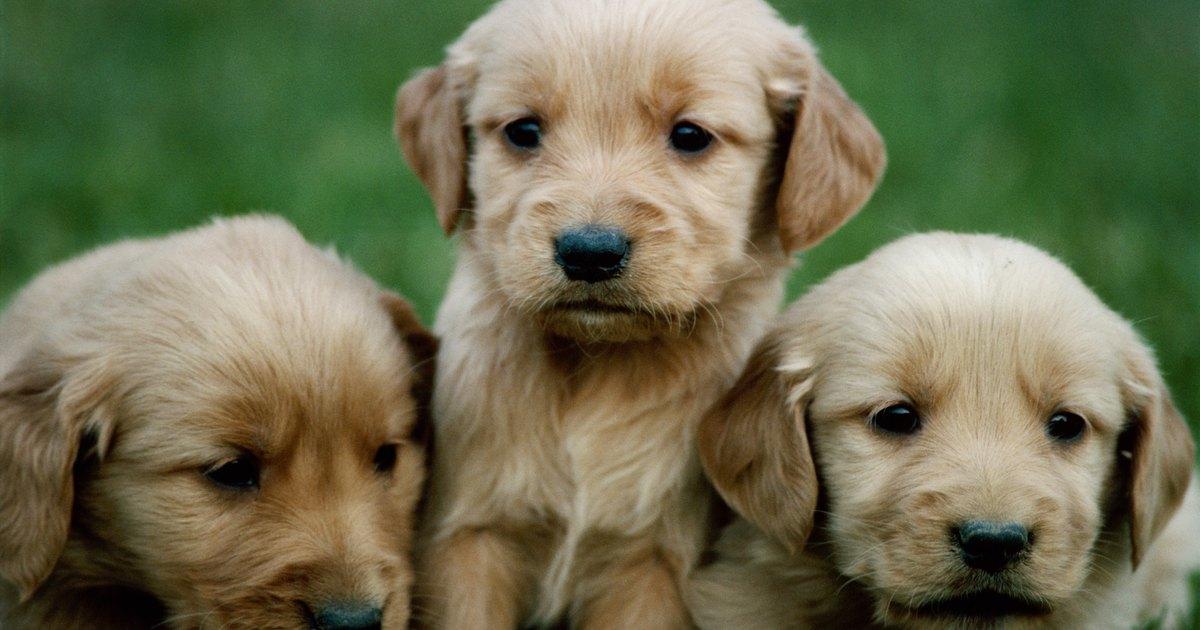 parvovirus en perros pdf