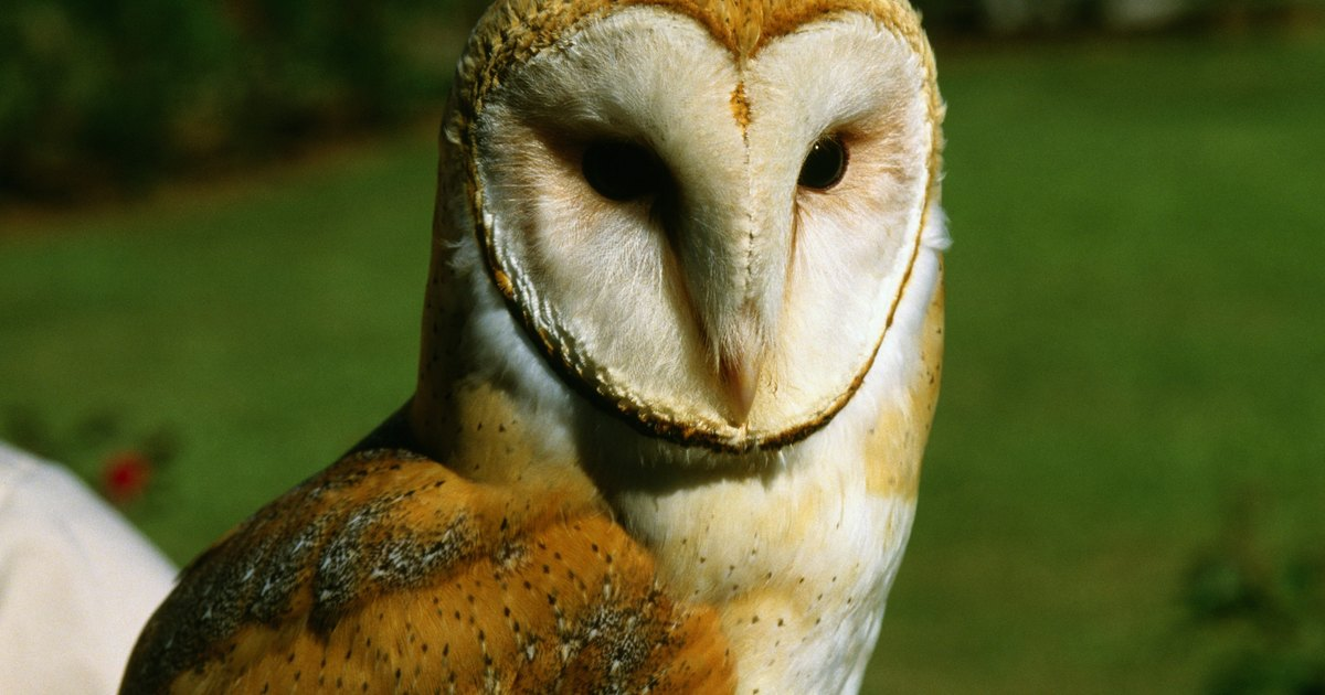 Adaptations Of The Barn Owl Ehow Uk
