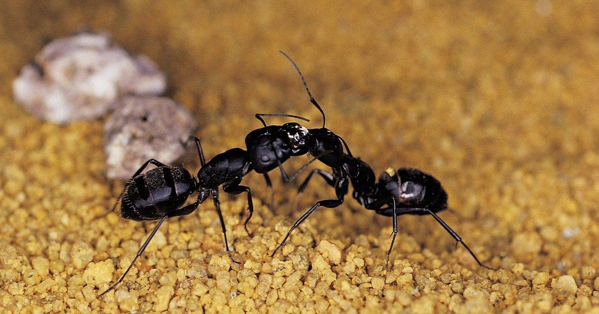 C mo exterminar las hormigas carpinteras en el techo - Exterminar hormigas en casa ...