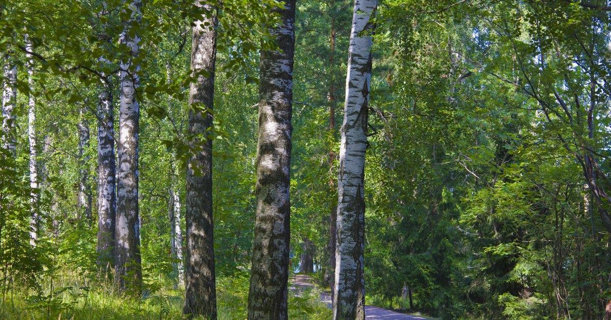 Is Birch Wood Toxic Ehow Uk
