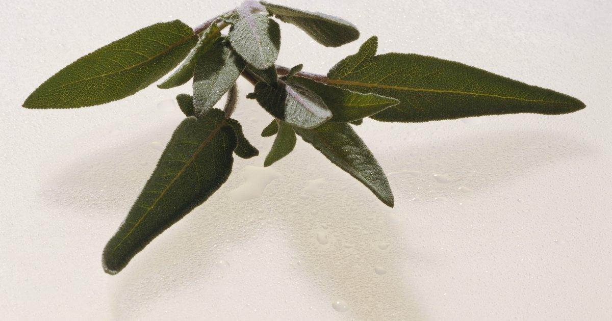 how to prune a sage bush ehow uk. Black Bedroom Furniture Sets. Home Design Ideas