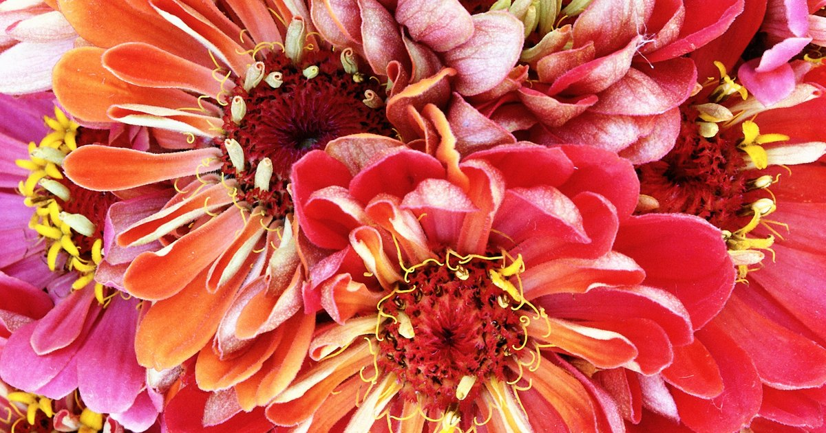 how to grow dahlias uk