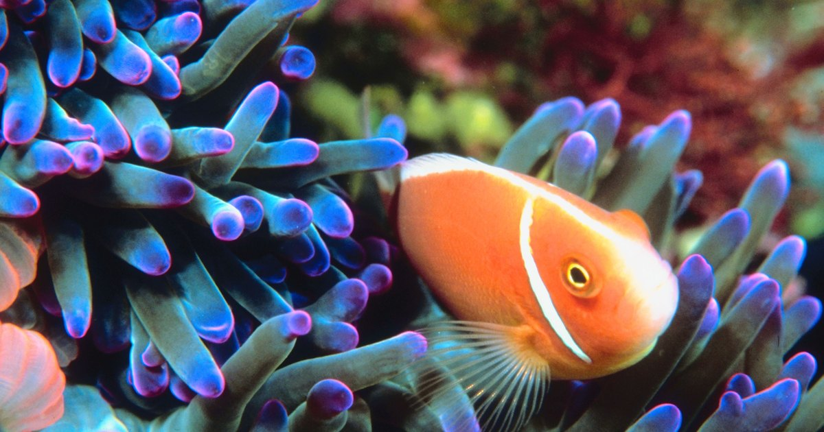 What behavioral adaptations does a clown fish go through for Clown fish adaptations