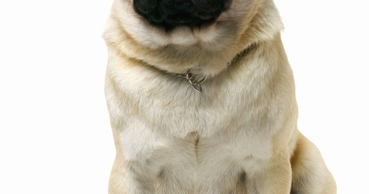 profesional ruso estilo perrito