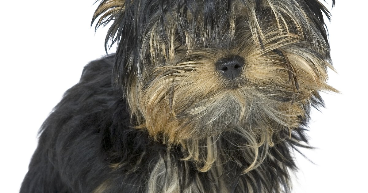 Basic Haircuts For Yorkie Terrier Dogs Ehow Uk