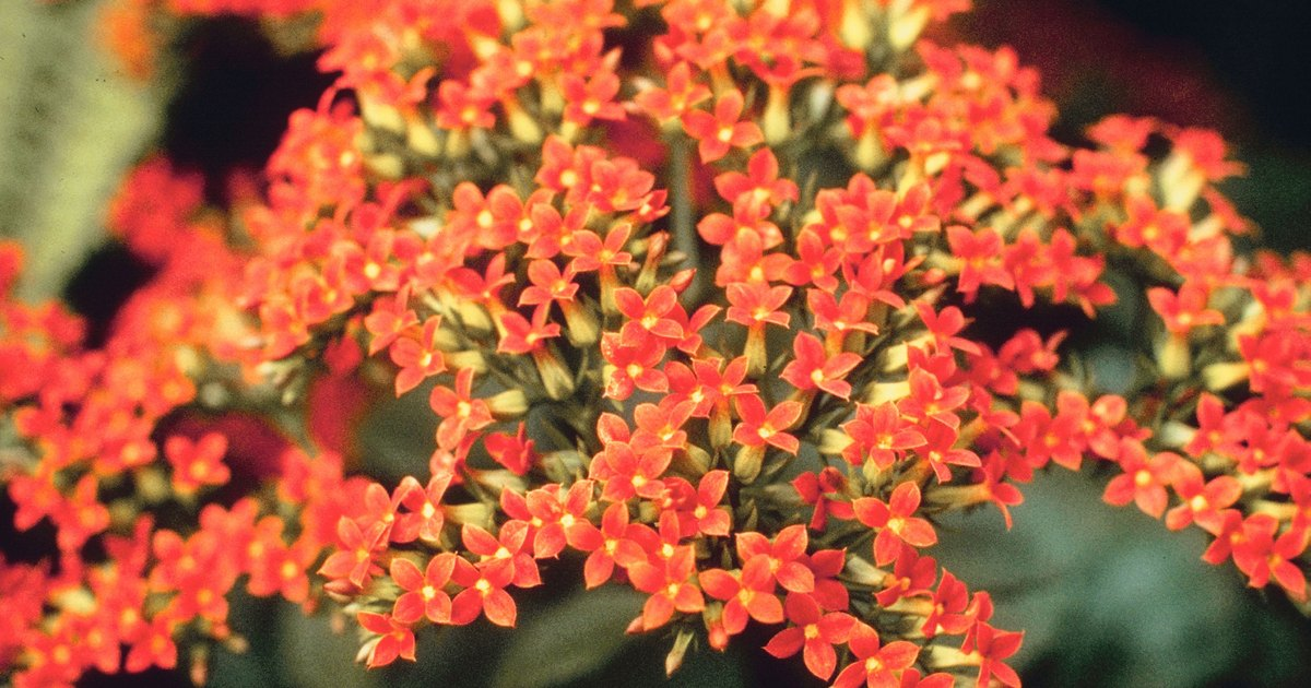how to care for kalanchoe plants ehow uk. Black Bedroom Furniture Sets. Home Design Ideas