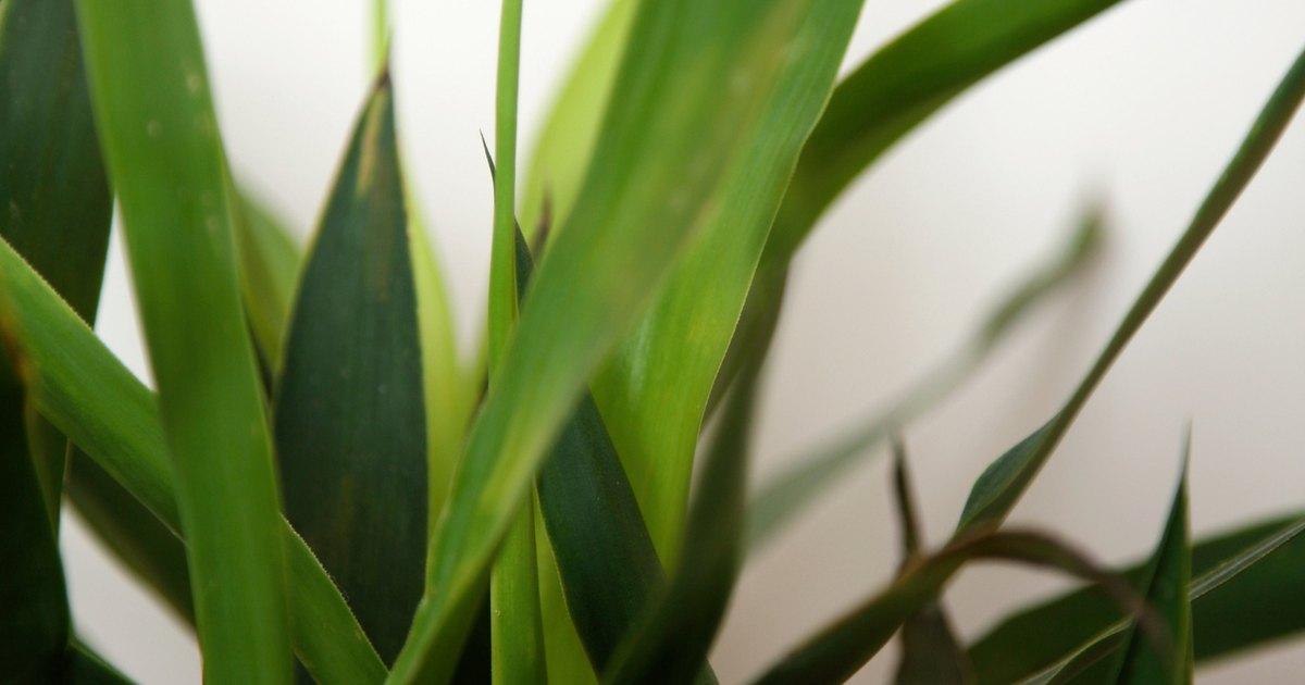 C mo cuidar la ex tica y duradera planta de interior for Plantas de interior exoticas