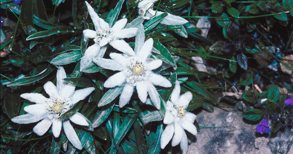 How To Grow Edelweiss Ehow Uk