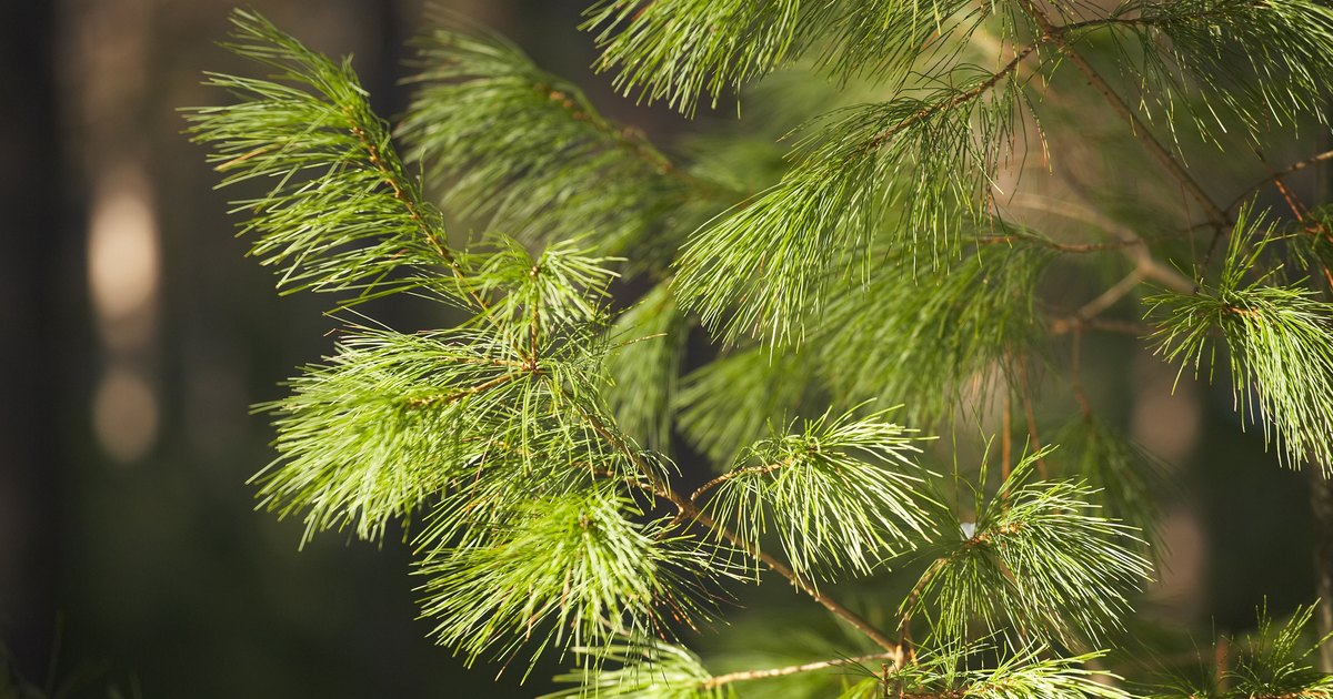 Evergreen tree facts for kids ehow uk for Arboles jardin hoja perenne