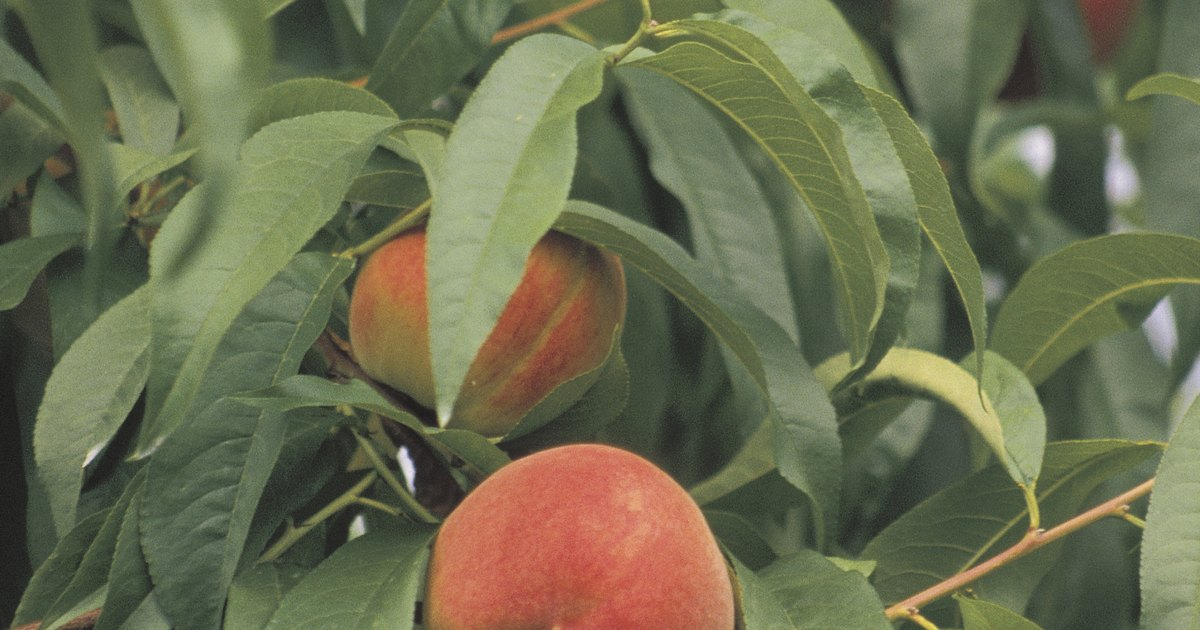 Nectarine Tree Leaves The best fruit tree sp...