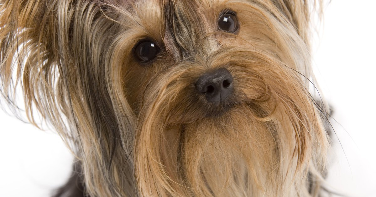 Silky Terrier Australiano / Raza de Perro - YouTube