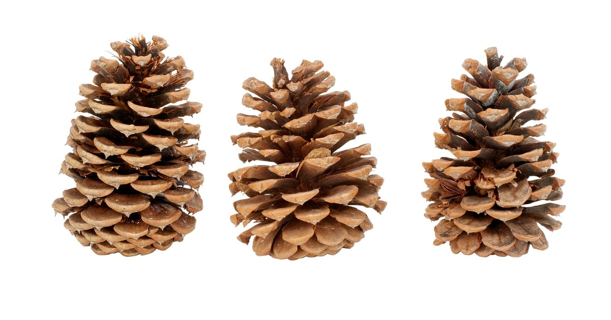 Pinus External Morphology and Different Parts