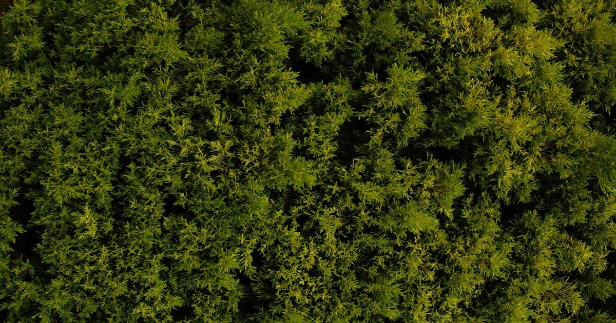 Low Growing Evergreen Shrubs Ehow Uk