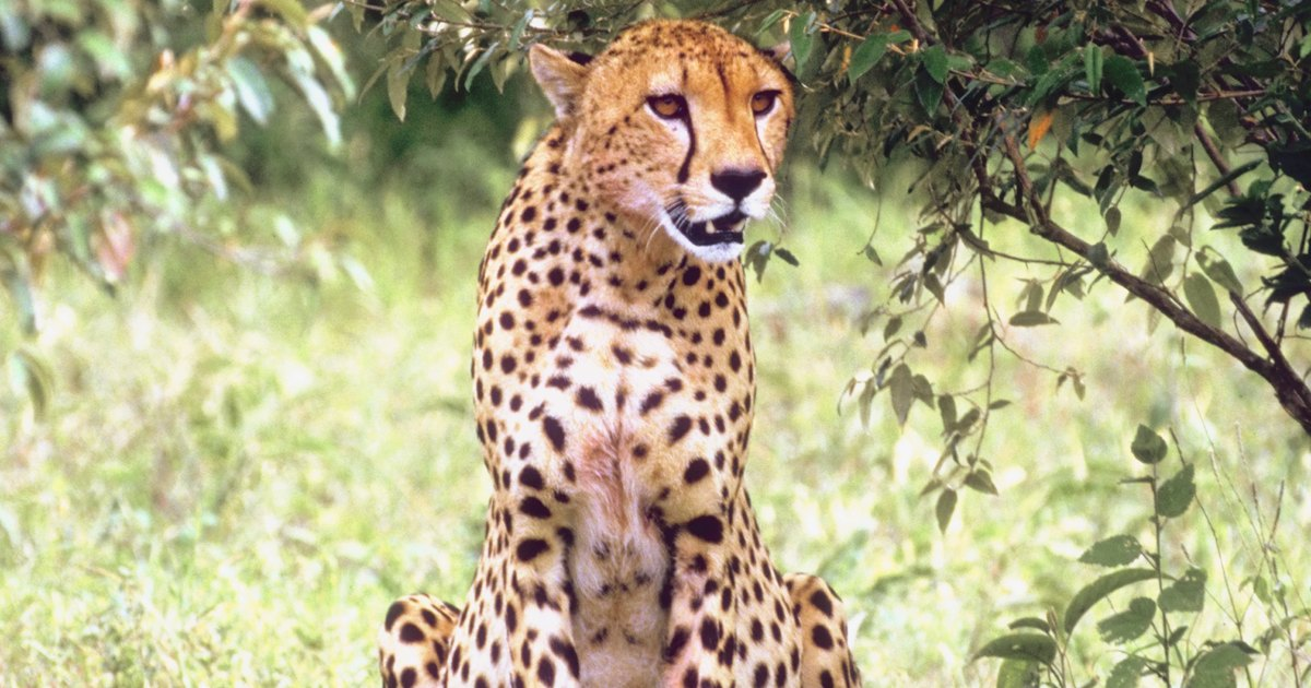characteristics of cheetahs living on the deserts of the serengeti Cheetahs of the serengeti plains is the most comprehensive account of carnivore social behavior to date synthesizing more than a decade of research in the wild, this book offers a detailed .