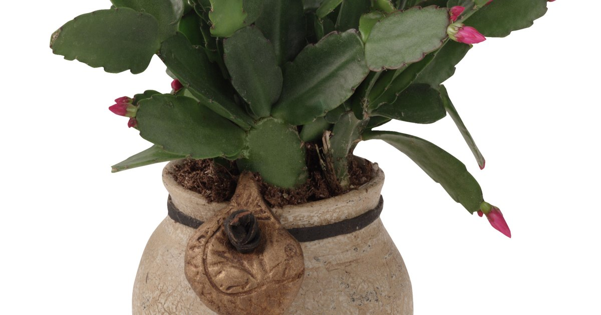 video how to water cactus and succulent plants ehow