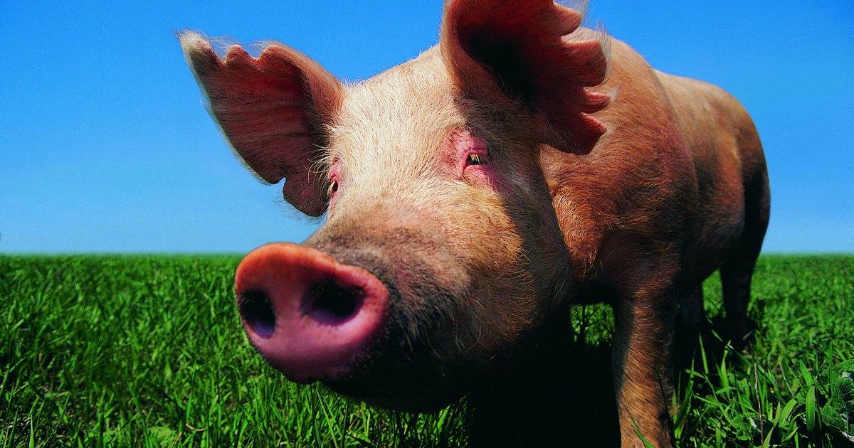 C mo cocinar patas de puerco ehow en espa ol for Cocinar patas de cerdo