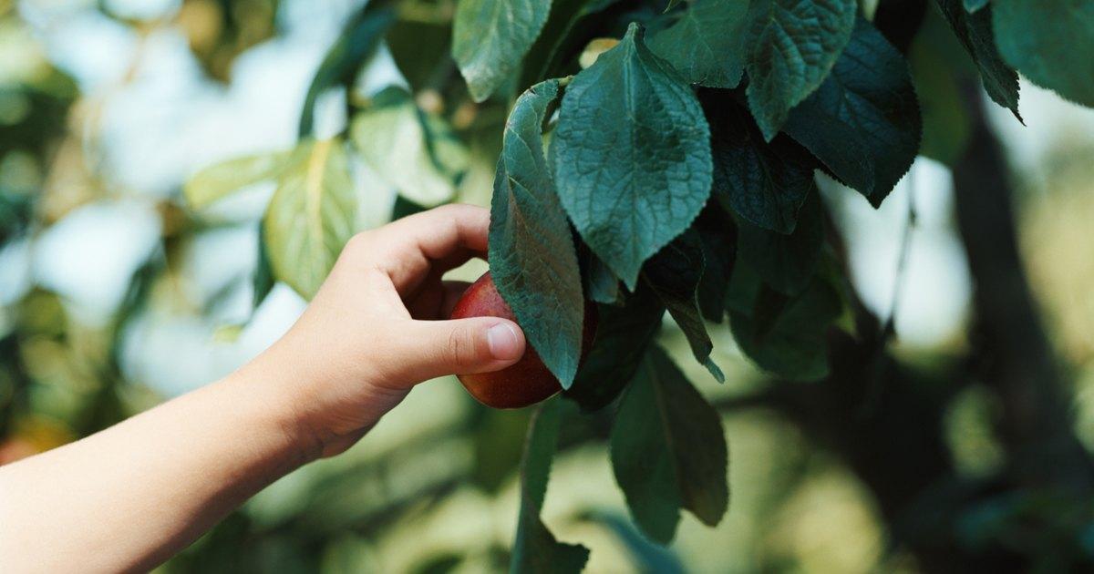 How to graft plum trees ehow uk - Graft plum tree tips ...