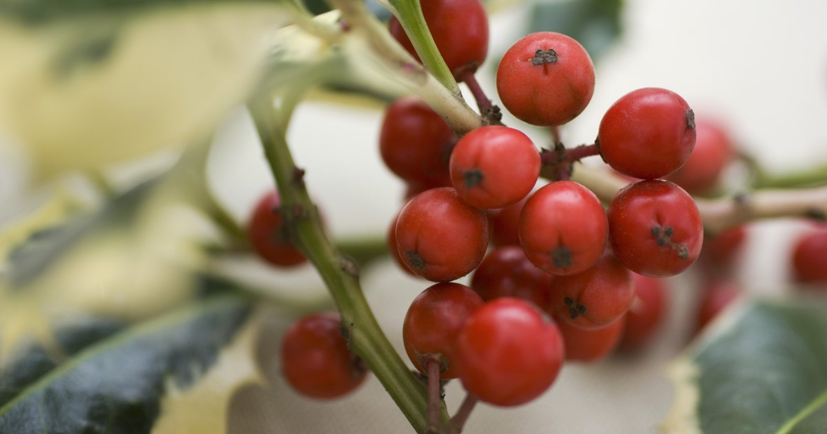 How To Grow Holly Bushes From Seeds Ehow Uk