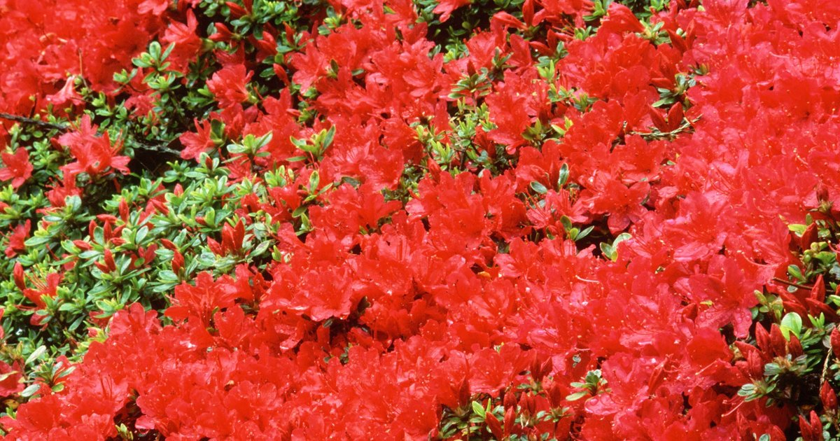 How To Prune Azaleas Amp Rhododendrons Ehow Uk