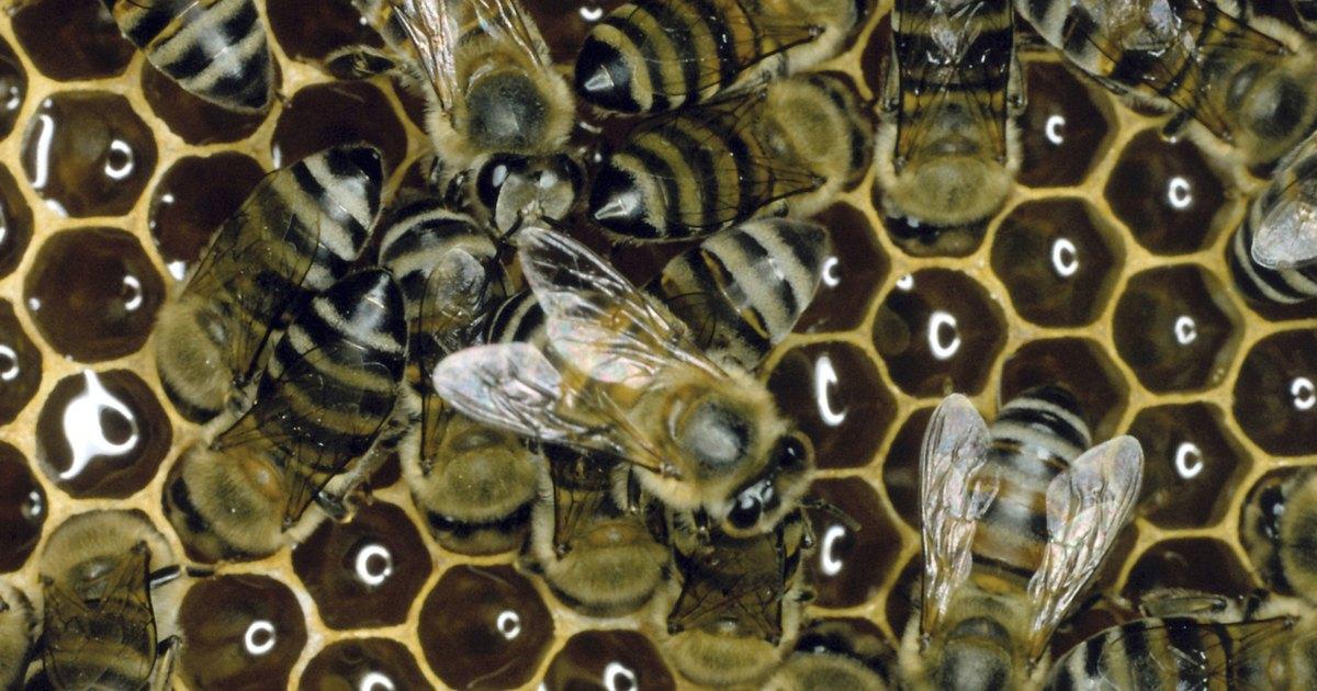 Cmo sera nuestra comida si las abejas desaparecieran