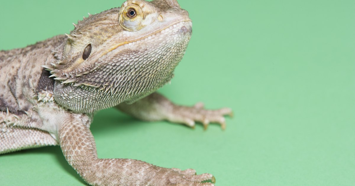 Sleeping Time Habits for Bearded Dragons | eHow UK