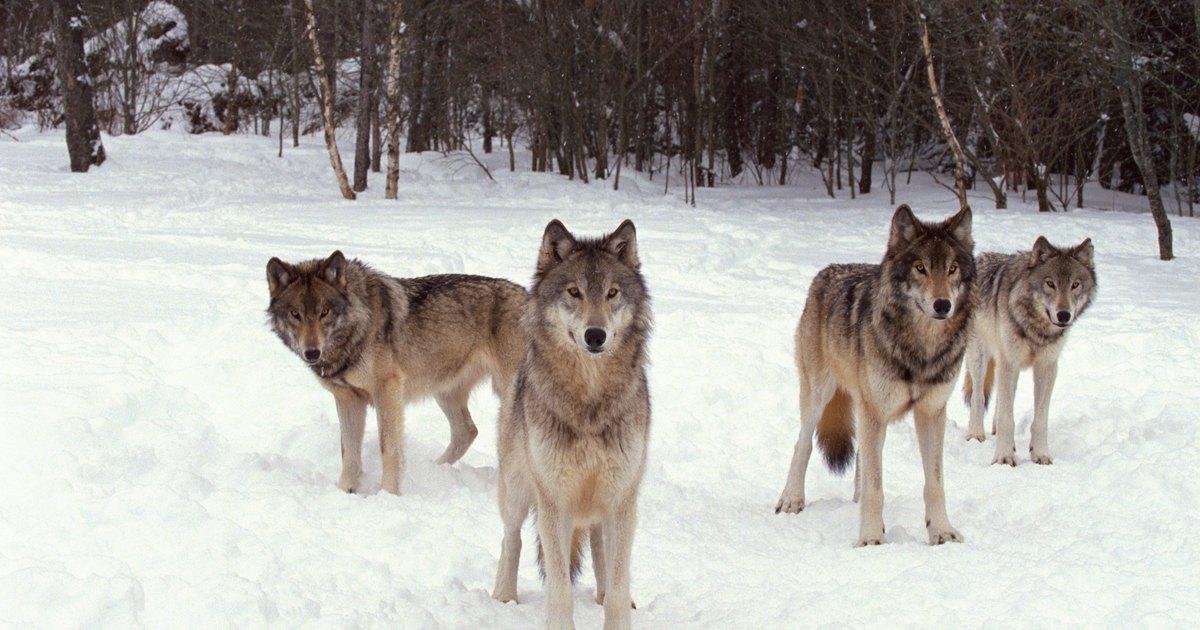 Wolf Dog Food Uk