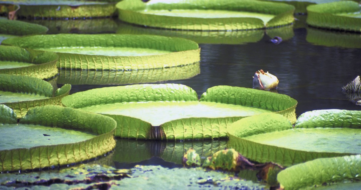 Giant Water Lily Flower Facts Ehow Uk