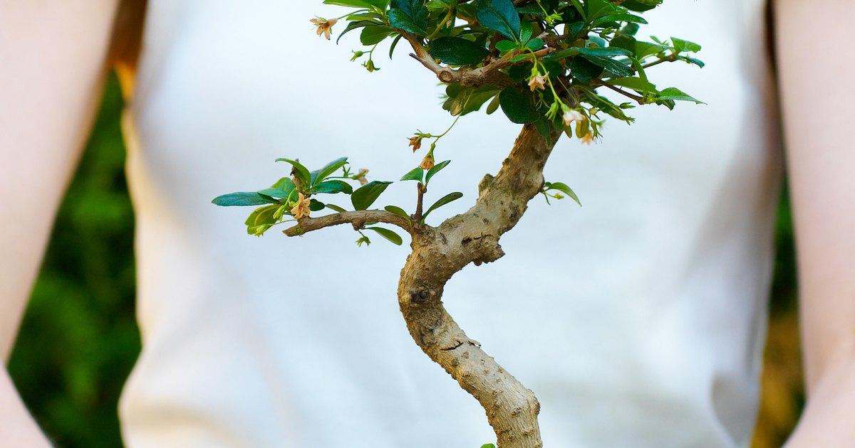 Dwarf ornamental trees and plants ehow uk for Dwarf decorative trees