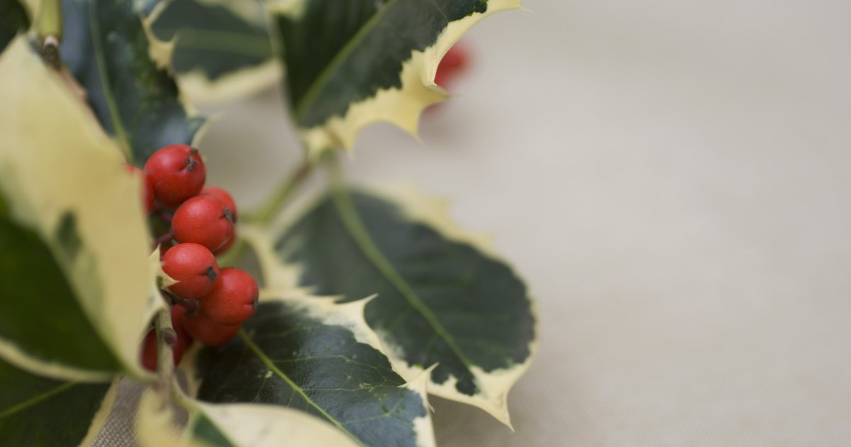 How To Grow A Standard Holly Bush Ehow Uk