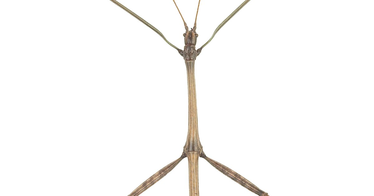 Fun Facts for Kids on Walking Sticks Insects | eHow UK