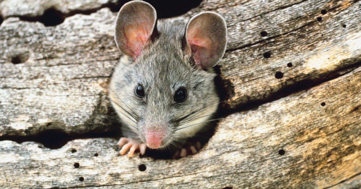 C mo eliminar las ratas del exterior de tu hogar ehow en for Ahuyentar ratas jardin