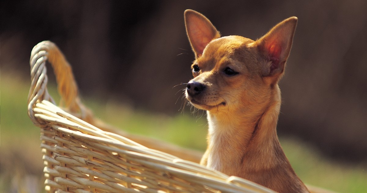 Dog Breeds With Ears That Stand Up Naturally