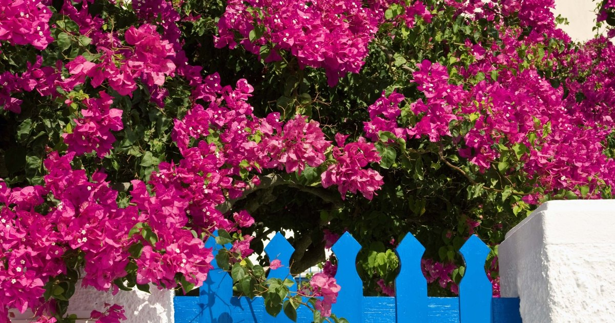 how to cure yellow leaves on bougainvillea ehow uk