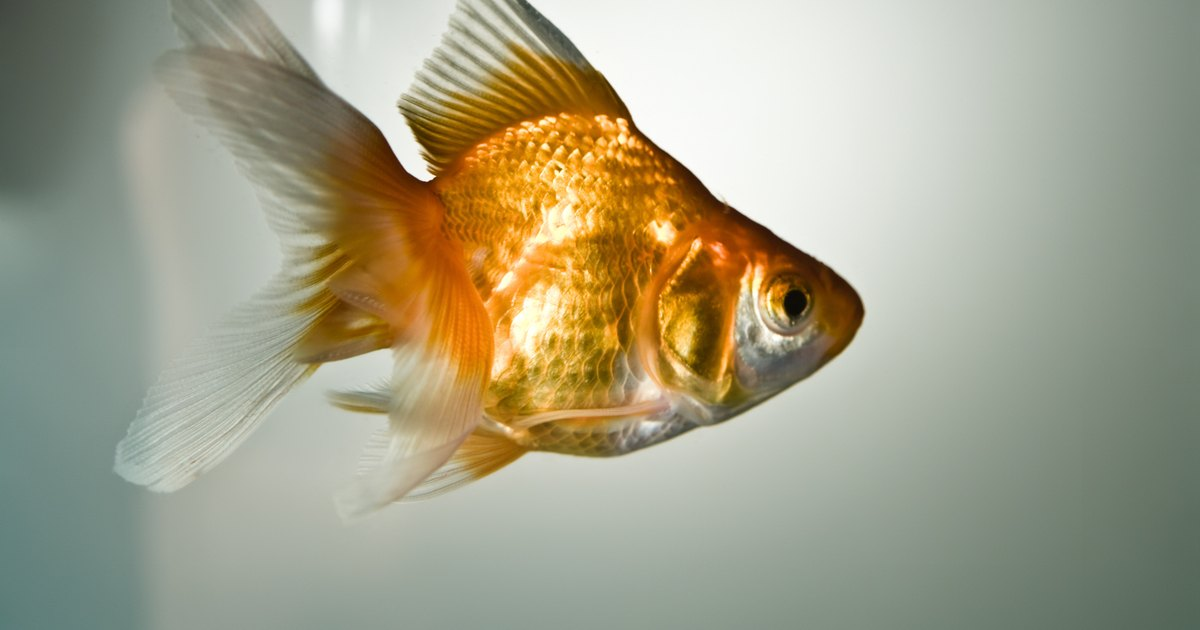 Eye diseases in goldfish ehow uk for Septicemia in fish