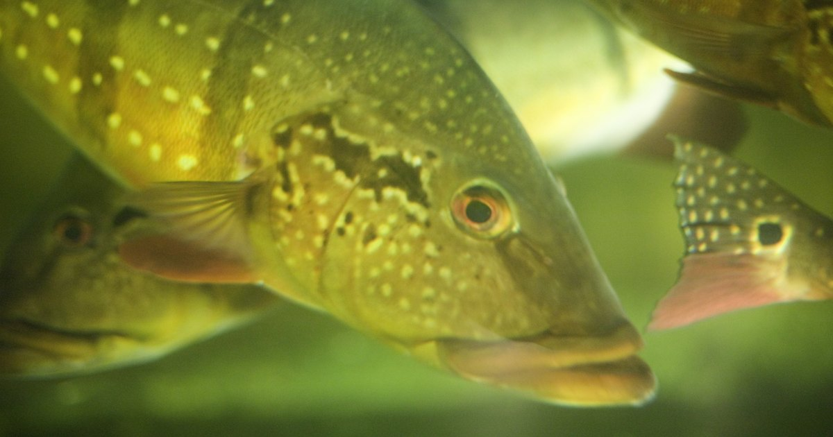 How to get rid of ammonia in your aquarium properly and for Ammonia in fish tank