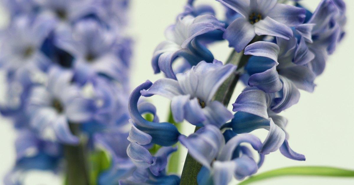 C mo cuidar las plantas de jacinto en interiores ehow en for Jacinto planta interior