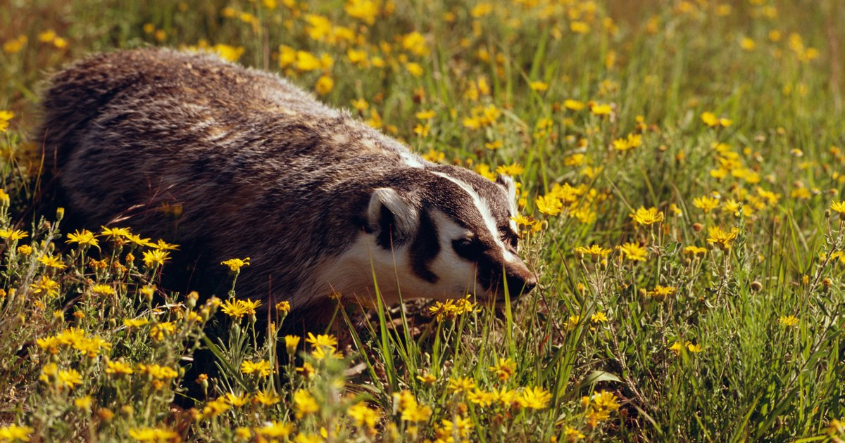 What Does A Badger Eat Ehow Uk