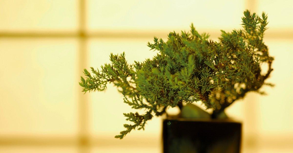Como cultivar um bonsai a partir de uma semente ehow brasil for Como cultivar bonsais