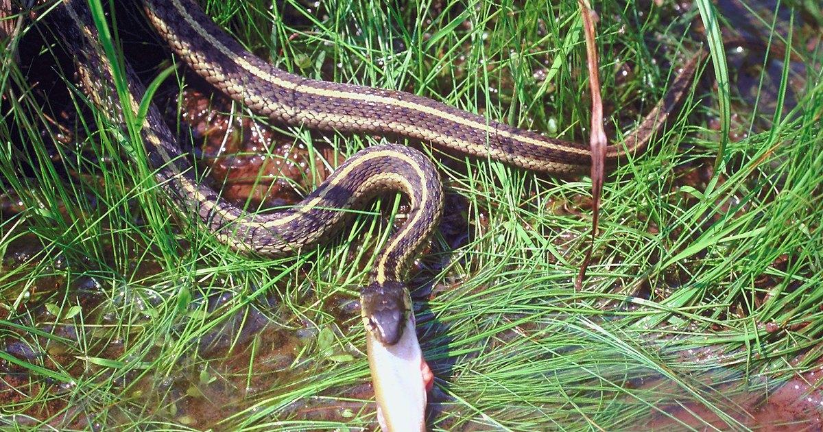 Tipos de cobras garter ehow brasil - Piege a serpent ...